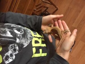 Friendly Crested Gecko in need of a home!