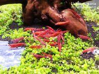 Cherry shrimp fire red Sakura aquarium cleaner sucker plec clean hardy easy