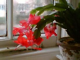 Christmas Cacti - potted plants