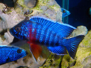 we now have cichlids from 1 1/2 to full colore males at 4 inc