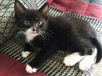 Black and White kittens for sale - 2 girls and 2 boys!