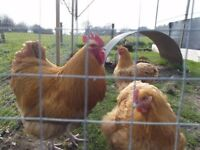 Buff Orpington Pullets for sale
