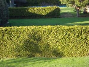 Mike & Jamie's Excellent Cedars for Hedges