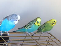 Beautiful budgies for sale. Brown cage.