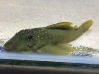 "L200 Green Phantom Pleco 5"" for sale live tropical fish"