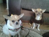 Adorable t cup chihuahua boy for sale