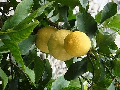 Natural way: lemon may help to remove tooth staining