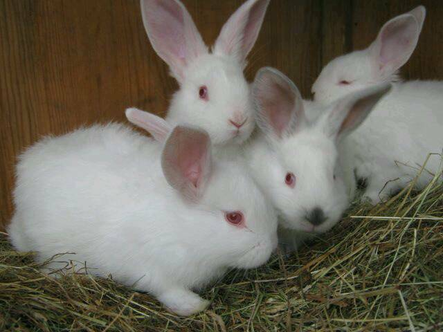 NEW ZEALAND RABBITS PURE WHITE