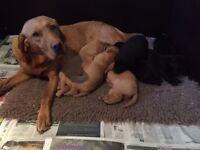 K.c reg black Labrador puppies for sale (girls only)