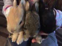 Homes for Baby Boy Bunnies (Mix breed part dwarf)