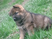 Beautiful German Shepherd Puppies for sale!
