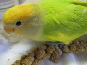 Exotic Lovebird Mutation Sellout. Adelaide CBD Adelaide City Preview