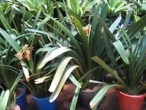 Large clivia plants