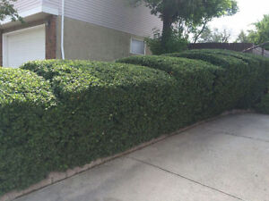 AFFORDABLE TREE PRUNING AND HEDGE TRIMMING London Ontario image 10
