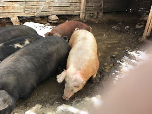 Bred Sows (gilts)