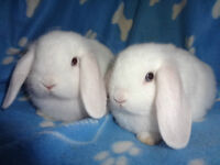 2 Beautiful Purebreed Holland Lop Bunnies For Sale