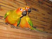 Handraised  baby Sunconure   Dna sexed  female.  Very friendly. Maitland Maitland Area Preview