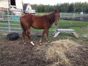 Two year old quarter horse for sale or trade
