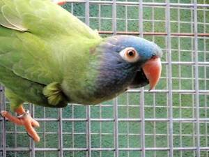 BLUE-CROWNED CONURE / SHARP TAILED CONURE Adelaide CBD Adelaide City Preview