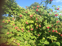 U-PICK  BERRIES IN  KAMLOOPS