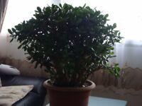 Money Plant for Sale
