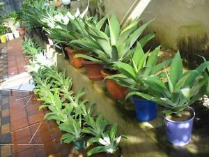 Different sizes of Agave plants for sale Mirrabooka Stirling Area Preview