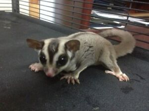 Adorable Young Sugar Gliders Ready to Leave