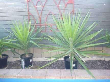 YUKKA PLANTS Singleton Singleton Area Preview