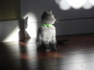 Pure breed Chartreux kittens (rare)