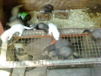 polecats/ferrets looking for new homes