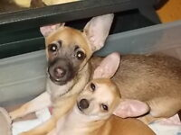 ***TOUJOURS DISPONIBLE CES 2 PETITS CHIHUAHUA PURE RACE***