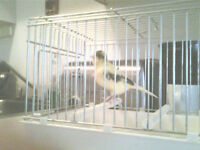 american singer female canary about 18 months old.....