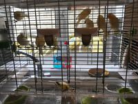 12 canaries to select from all ready to go for new home adult one 25.00 GBP Perivale Area