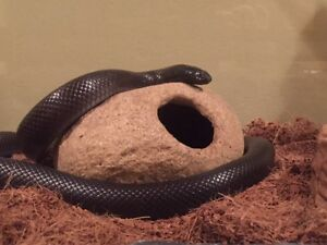 Snake Adopt Or Rehome Pets In Calgary Kijiji Classifieds
