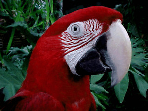 greenwing macaw 15 years old, tame and friendly with large cage