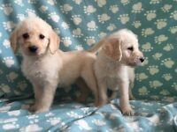 Labradoodle puppies. Cream/white. Boys/girls