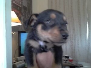 pure kelpie puppies for sale Boyup Brook Boyup Brook Area Preview
