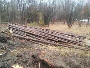 500+ Cedar Trees for Fence Posts (55 minutes from Cornwall)