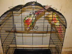Pair of Pineapple Green Cheek Conures for Sale