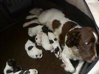 English Springer Spaniel Pups Born 21st September L/W