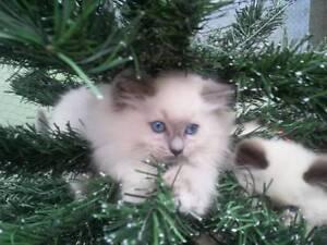 Purebred Ragdoll kittens for sale by registered breeder Reservoir Darebin Area Preview