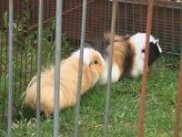 Long haired guinea pigs and hutch free to good home, good condition