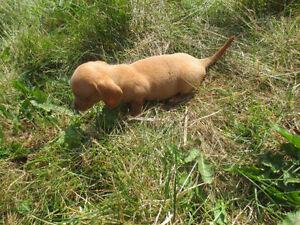 RARE ORANGE Extra Tiny  Male Dachshund Pup(1 blue eye,1green)
