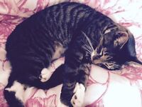 Foster home needed for two lovely tabby cat brothers