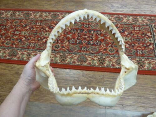 "(sj30-120-20) 14"" BULL SHARK B grade jaw teeth taxidermy love sharks ichthyology"