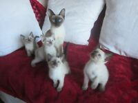 REAL PUREBRED SIAMESE KITTENS