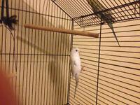 Free Parakeet (Budgie) pair