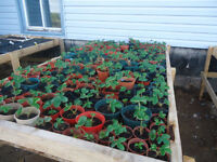 Riverside-Abert - 40 Strawberry Plants for sale for $15 - FIRM!