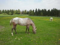 Bombproof Appaloosa Mare - PRICE REDUCED