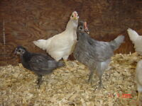 2 to 4 week old mixed breed laying chicks unsexed 12 for $100